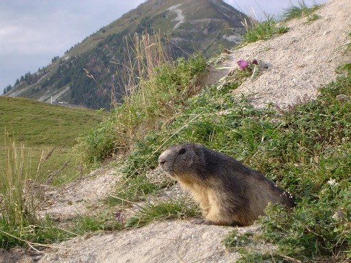 votre animal adoré Marmotte